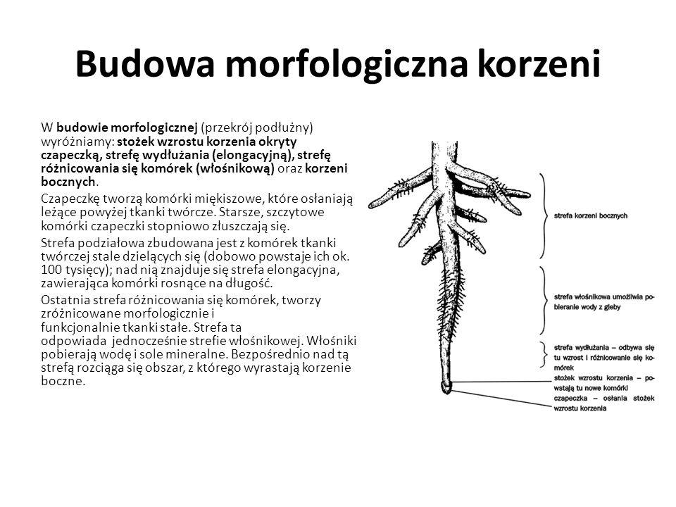 Budowa morfologiczna korzeni W budowie morfologicznej (przekrój podłużny) wyróżniamy: stożek wzrostu korzenia okryty czapeczką, strefę wydłużania (elo