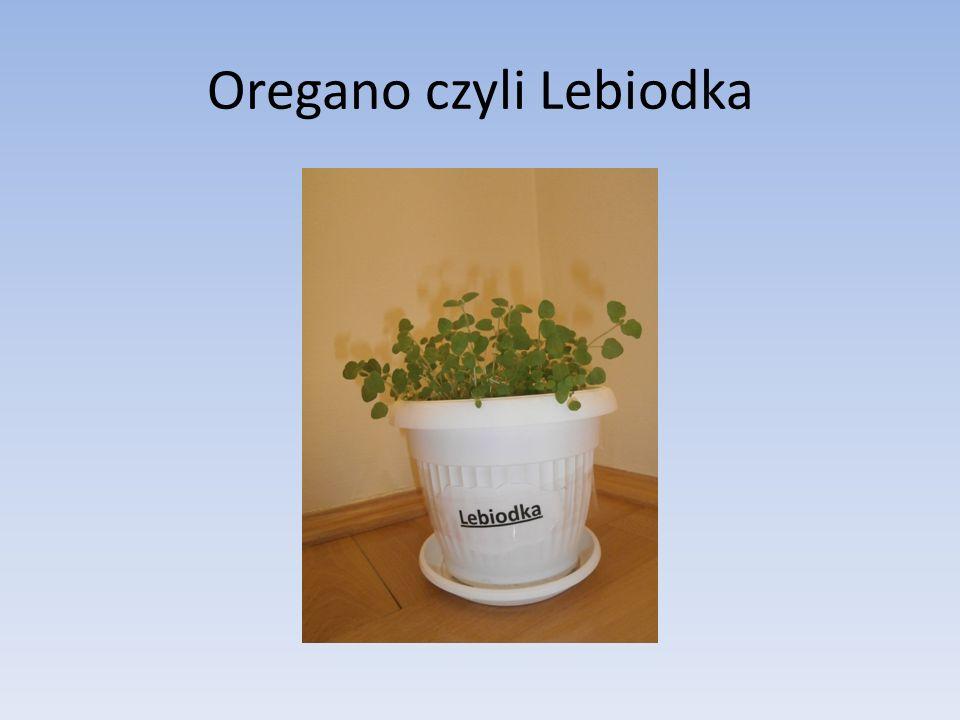 Oregano czyli Lebiodka