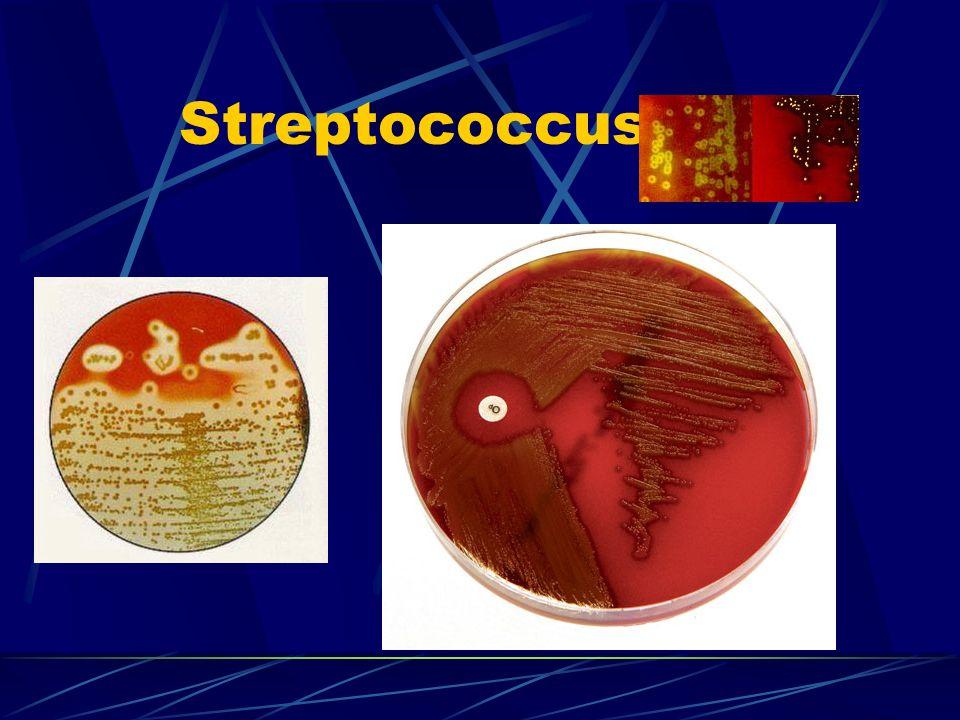 Streptococcus spp