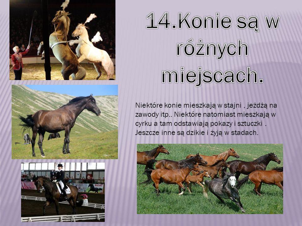 Niektóre konie mieszkają w stajni, jeżdżą na zawody itp.. Niektóre natomiast mieszkają w cyrku a tam odstawiają pokazy i sztuczki. Jeszcze inne są dzi