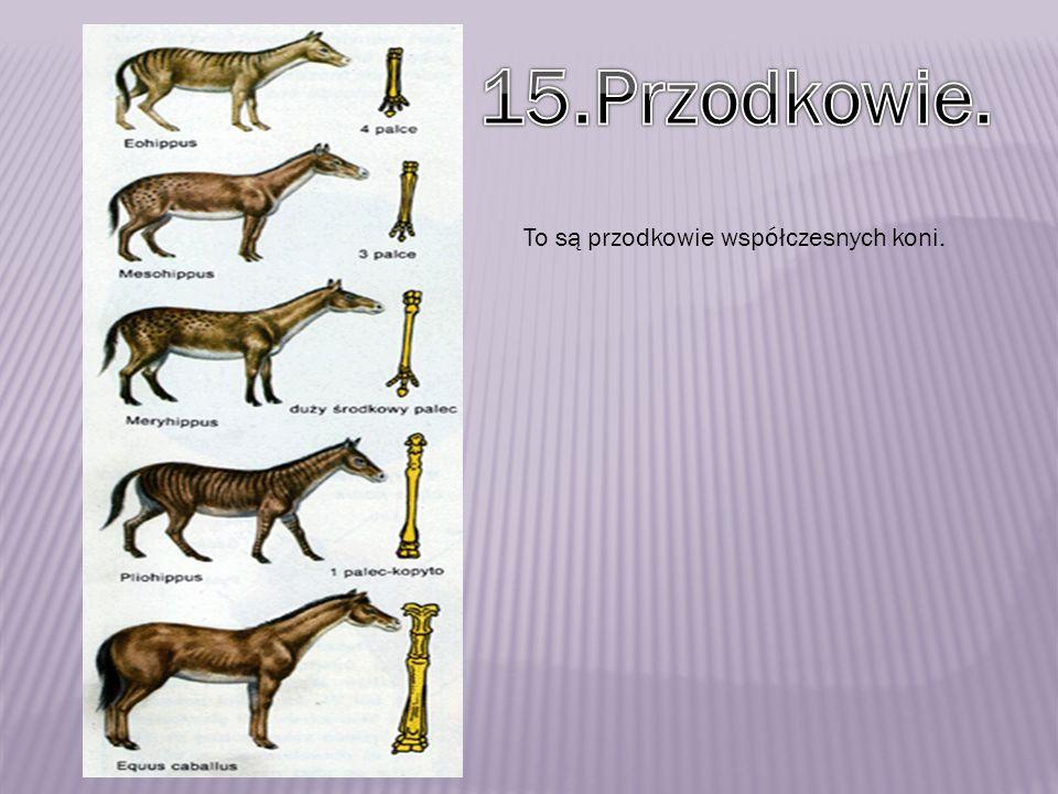 To są przodkowie współczesnych koni.