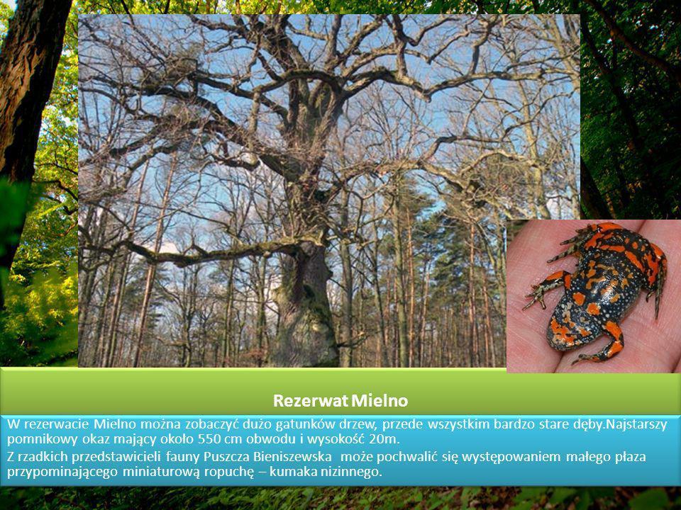Rezerwat Mielno W rezerwacie Mielno można zobaczyć dużo gatunków drzew, przede wszystkim bardzo stare dęby.Najstarszy pomnikowy okaz mający około 550 cm obwodu i wysokość 20m.