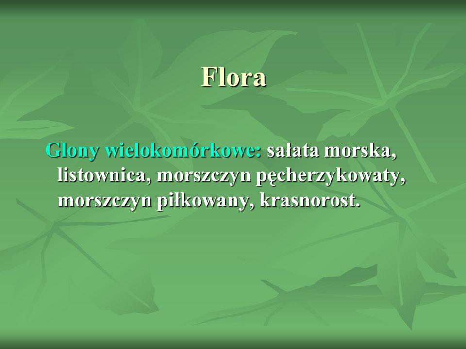 Flora Glony wielokomórkowe: sałata morska, listownica, morszczyn pęcherzykowaty, morszczyn piłkowany, krasnorost.