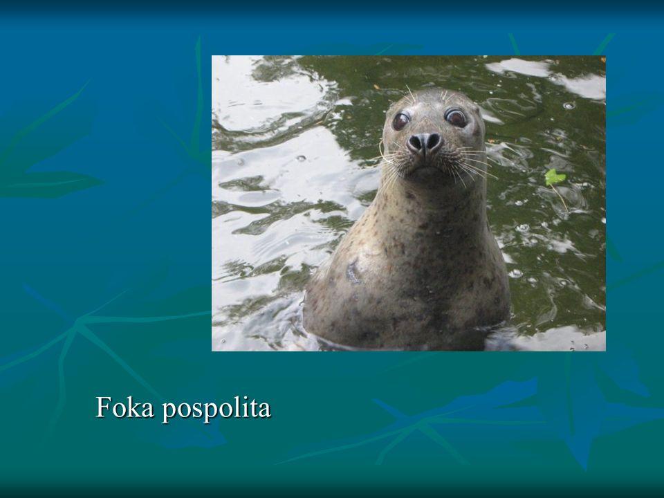 Foka pospolita Foka pospolita
