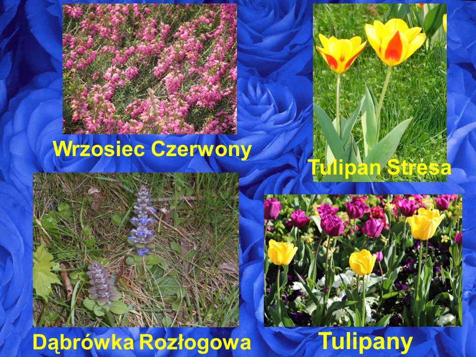 Dąbrówka Rozłogowa Tulipany Tulipan Stresa Wrzosiec Czerwony