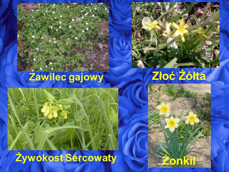 Zawilec gajowy Złoć Żółta Żonkil Żywokost Sercowaty