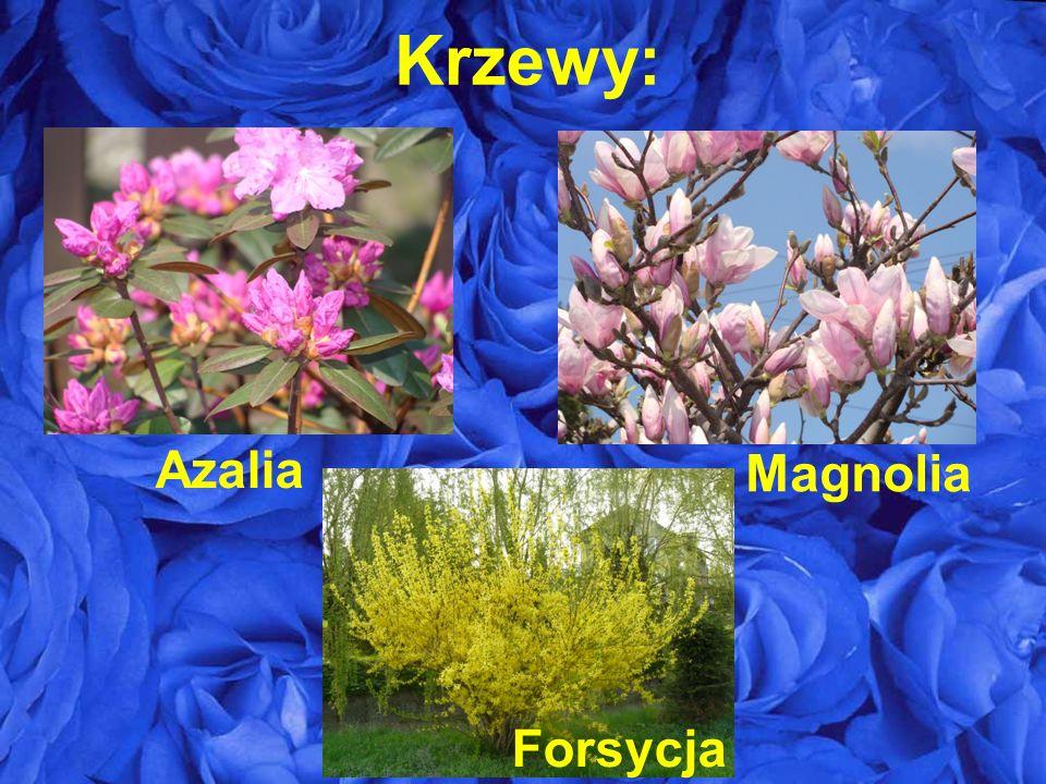 Krzewy: Azalia Forsycja Magnolia