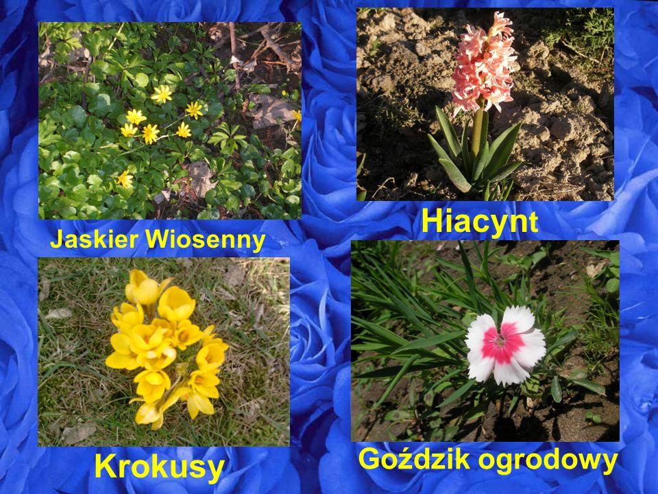 Jaskier Wiosenny Goździk ogrodowy Hiacyn t Krokusy