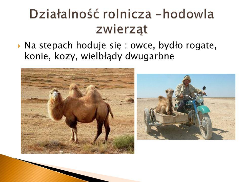 Na stepach hoduje się : owce, bydło rogate, konie, kozy, wielbłądy dwugarbne