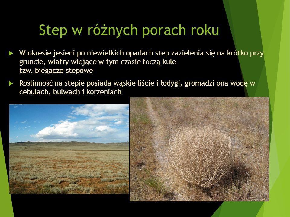 Step w różnych porach roku W okresie jesieni po niewielkich opadach step zazielenia się na krótko przy gruncie, wiatry wiejące w tym czasie toczą kule