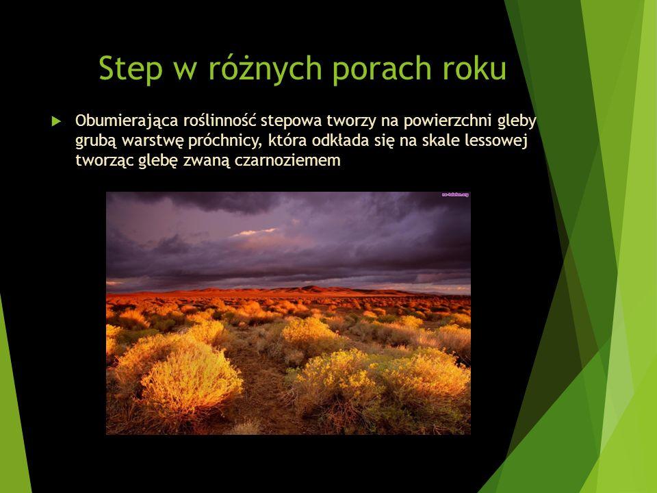 Step w różnych porach roku Obumierająca roślinność stepowa tworzy na powierzchni gleby grubą warstwę próchnicy, która odkłada się na skale lessowej tw
