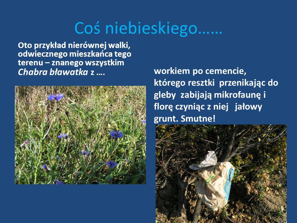 Przykrego sąsiedztwa – ciąg dalszy Czy nie lepiej by było oddać te puszki do punktu skupu? Nazwa rośliny: Kozibród łąkowy ( łac. Tragopogon pratensis