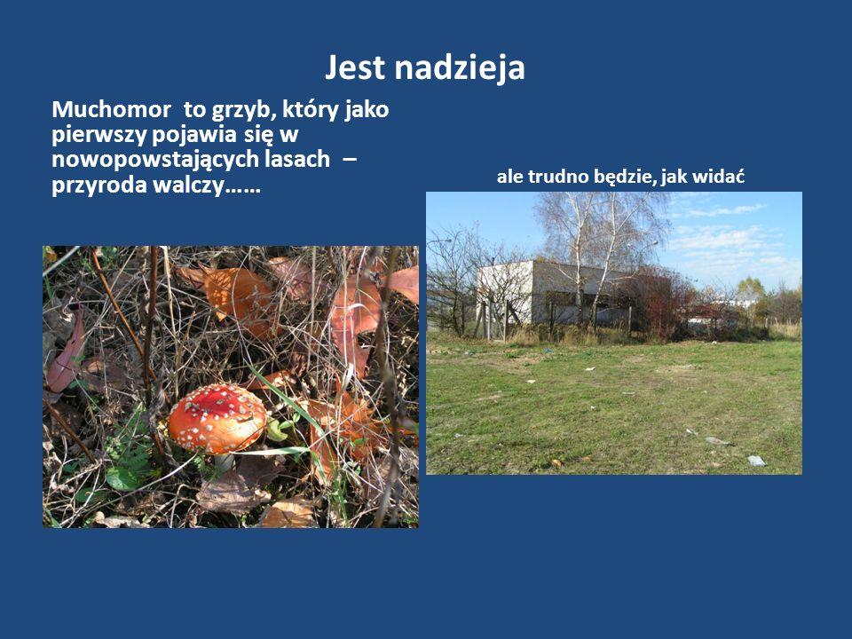Jest nadzieja Muchomor to grzyb, który jako pierwszy pojawia się w nowopowstających lasach – przyroda walczy…… ale trudno będzie, jak widać
