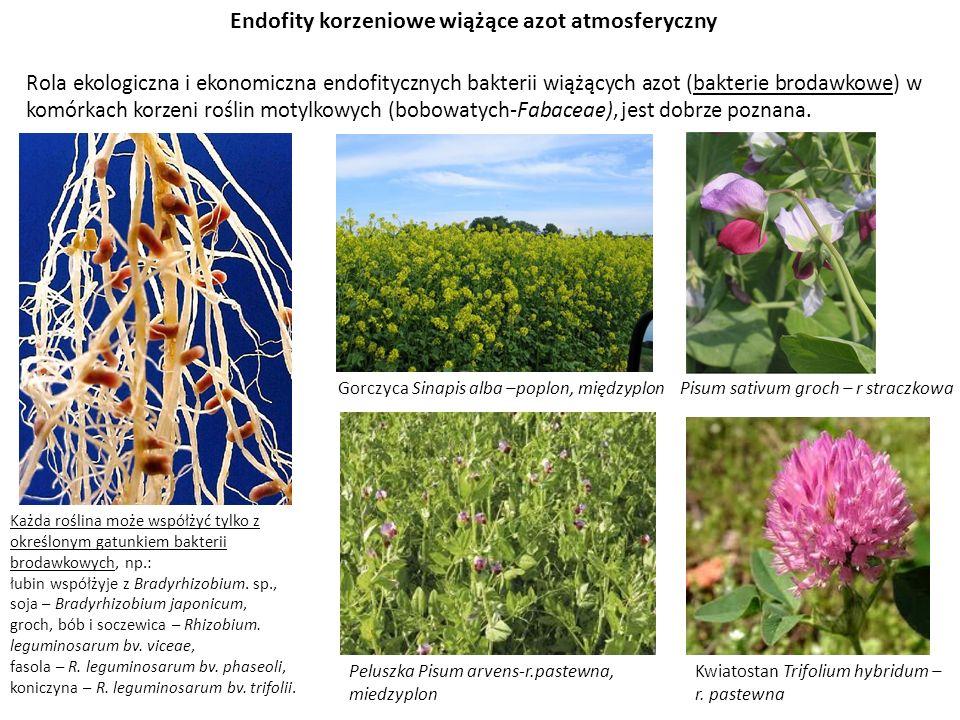 Endofity korzeniowe wiążące azot atmosferyczny Rola ekologiczna i ekonomiczna endofitycznych bakterii wiążących azot (bakterie brodawkowe) w komórkach