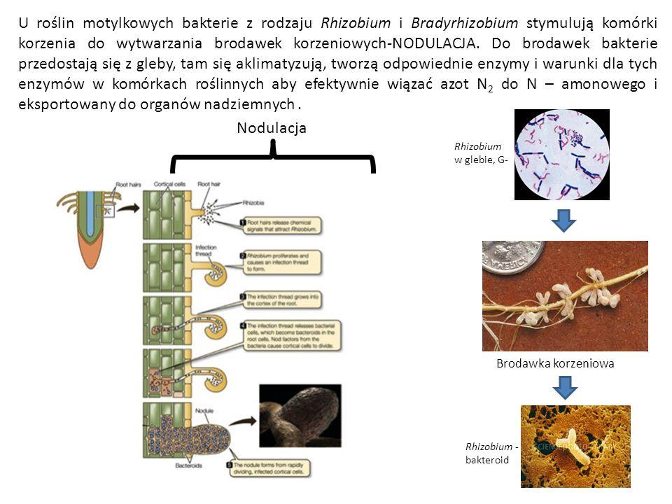 U roślin motylkowych bakterie z rodzaju Rhizobium i Bradyrhizobium stymulują komórki korzenia do wytwarzania brodawek korzeniowych-NODULACJA. Do broda