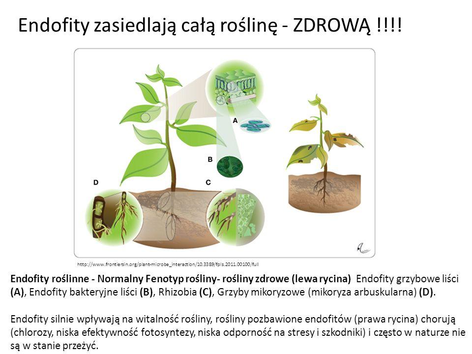 Endofity roślinne - Normalny Fenotyp rośliny- rośliny zdrowe (lewa rycina) Endofity grzybowe liści (A), Endofity bakteryjne liści (B), Rhizobia (C), G
