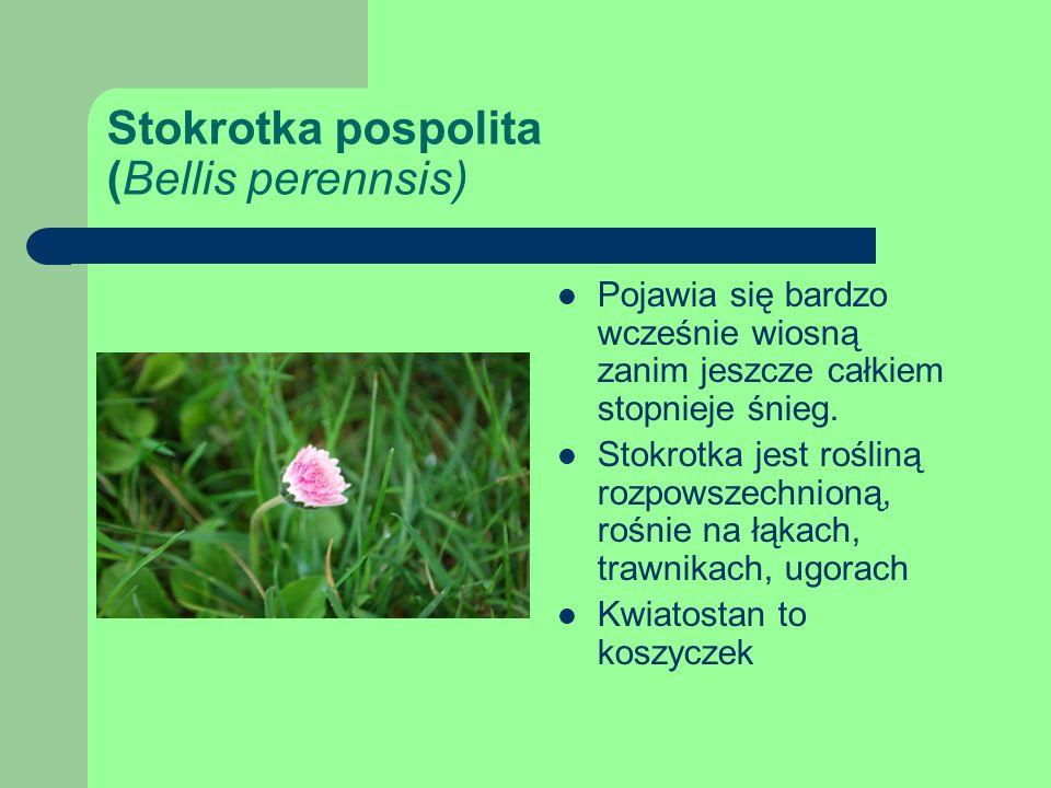 Stokrotka pospolita (Bellis perennsis) Pojawia się bardzo wcześnie wiosną zanim jeszcze całkiem stopnieje śnieg.