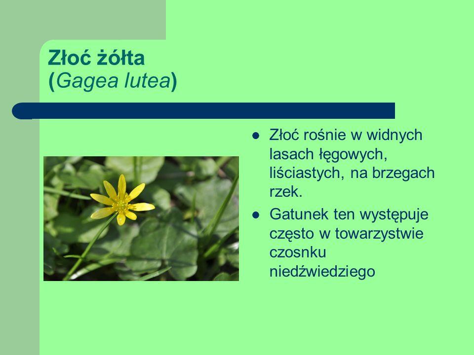Złoć żółta (Gagea lutea) Złoć rośnie w widnych lasach łęgowych, liściastych, na brzegach rzek.