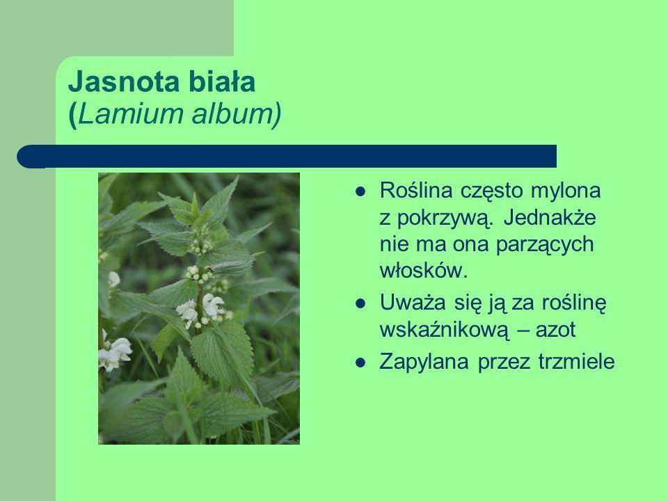 Jasnota biała (Lamium album) Roślina często mylona z pokrzywą.