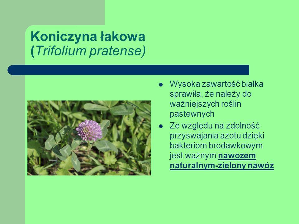 Koniczyna łakowa (Trifolium pratense) Wysoka zawartość białka sprawiła, że należy do ważniejszych roślin pastewnych Ze względu na zdolność przyswajania azotu dzięki bakteriom brodawkowym jest ważnym nawozem naturalnym-zielony nawóz