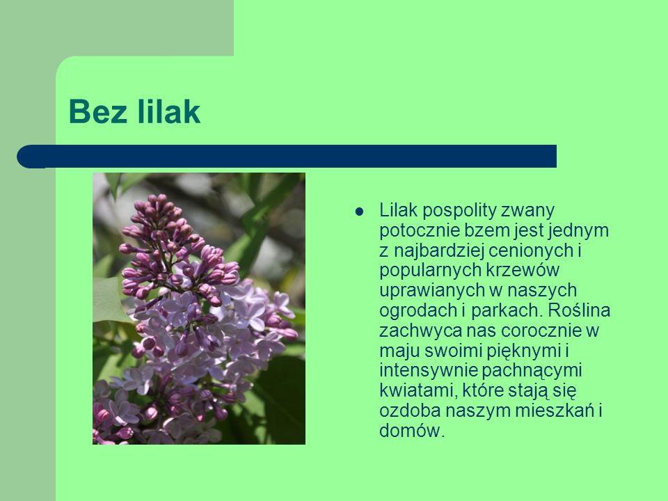 Bez lilak Lilak pospolity zwany potocznie bzem jest jednym z najbardziej cenionych i popularnych krzewów uprawianych w naszych ogrodach i parkach.