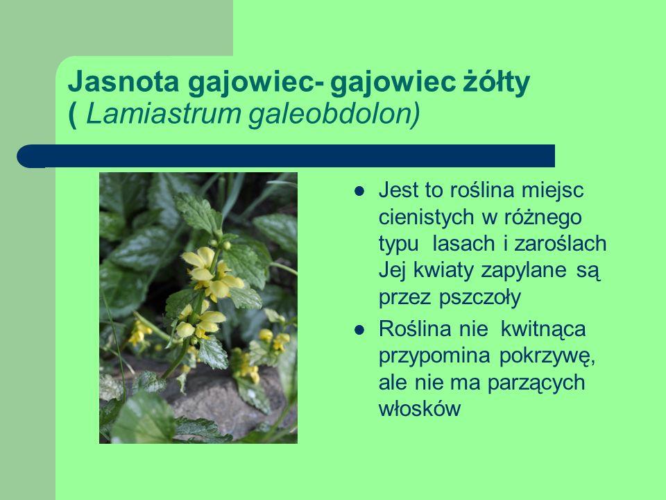 Jasnota gajowiec- gajowiec żółty ( Lamiastrum galeobdolon) Jest to roślina miejsc cienistych w różnego typu lasach i zaroślach Jej kwiaty zapylane są przez pszczoły Roślina nie kwitnąca przypomina pokrzywę, ale nie ma parzących włosków