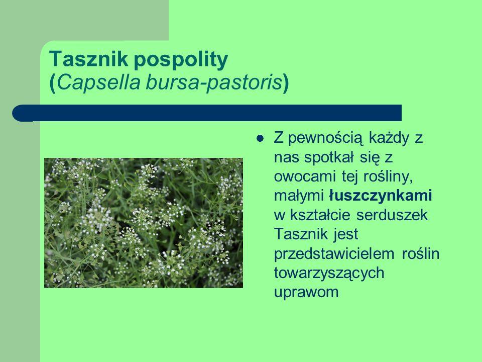 Tasznik pospolity (Capsella bursa-pastoris) Z pewnością każdy z nas spotkał się z owocami tej rośliny, małymi łuszczynkami w kształcie serduszek Tasznik jest przedstawicielem roślin towarzyszących uprawom