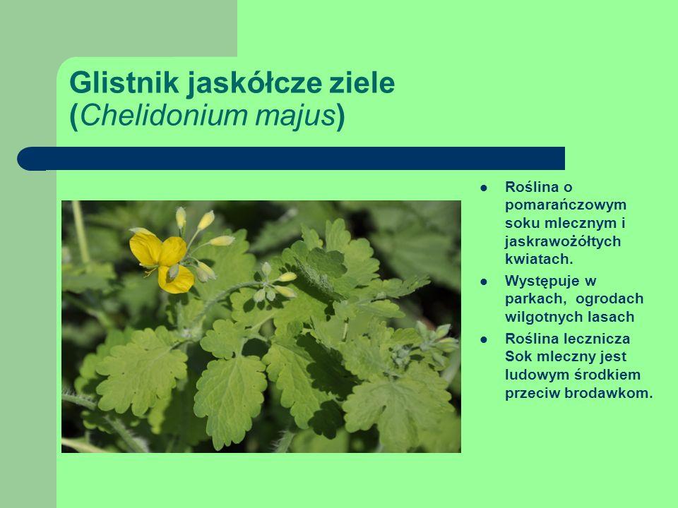 Glistnik jaskółcze ziele (Chelidonium majus) Roślina o pomarańczowym soku mlecznym i jaskrawożółtych kwiatach.