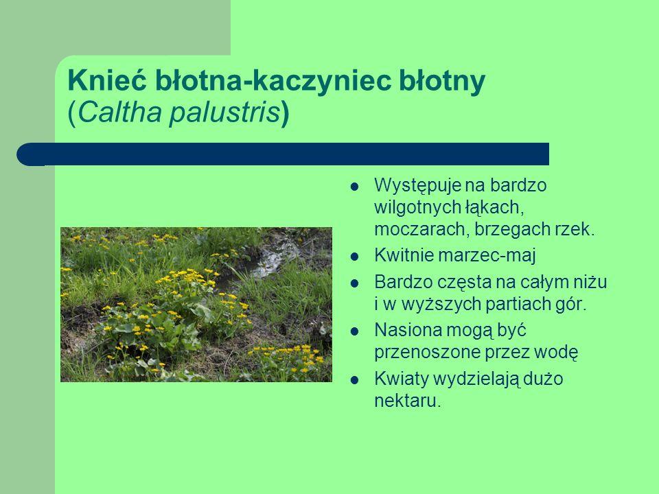 Knieć błotna-kaczyniec błotny (Caltha palustris) Występuje na bardzo wilgotnych łąkach, moczarach, brzegach rzek.