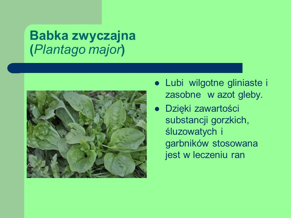 Babka zwyczajna (Plantago major) Lubi wilgotne gliniaste i zasobne w azot gleby.