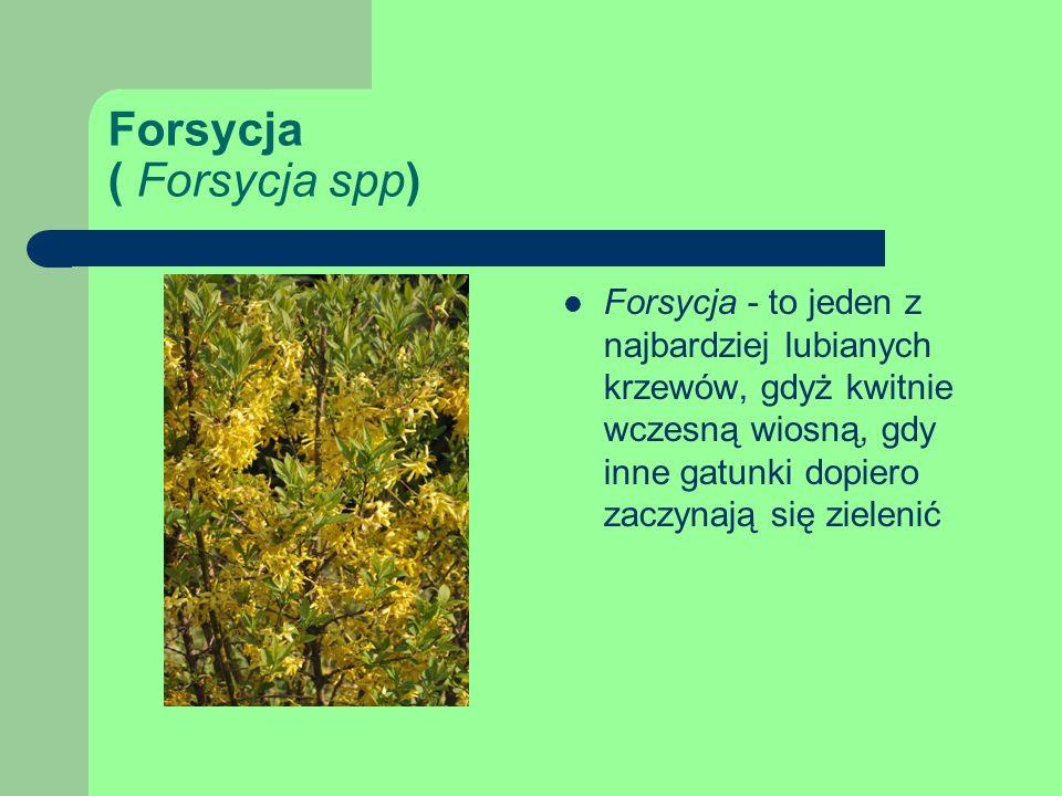 Forsycja ( Forsycja spp) Forsycja - to jeden z najbardziej lubianych krzewów, gdyż kwitnie wczesną wiosną, gdy inne gatunki dopiero zaczynają się zielenić
