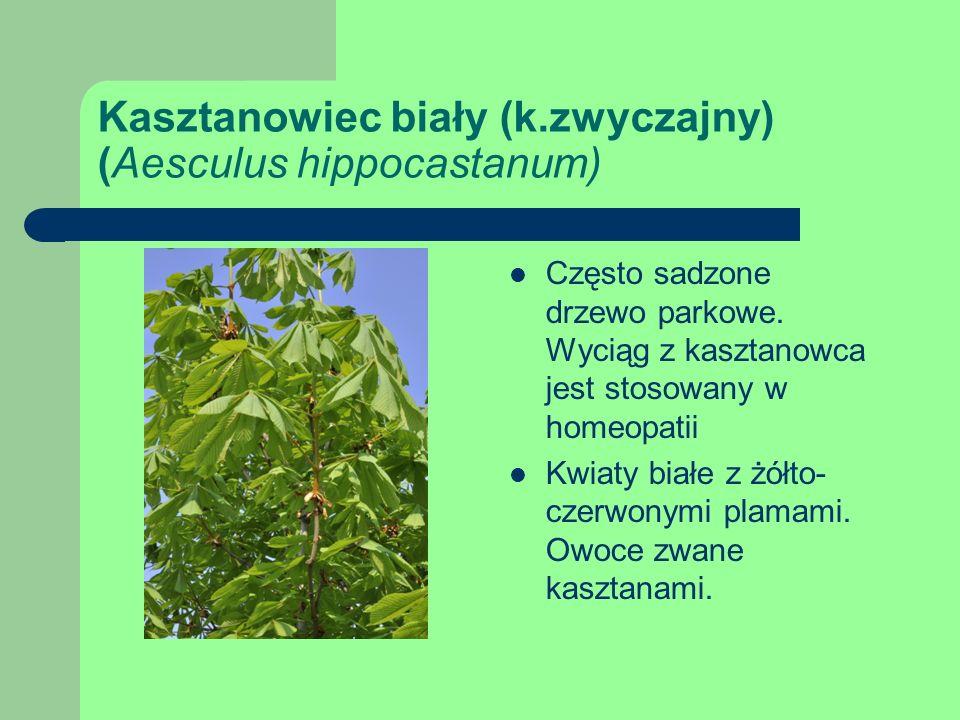 Kasztanowiec biały (k.zwyczajny) (Aesculus hippocastanum) Często sadzone drzewo parkowe.