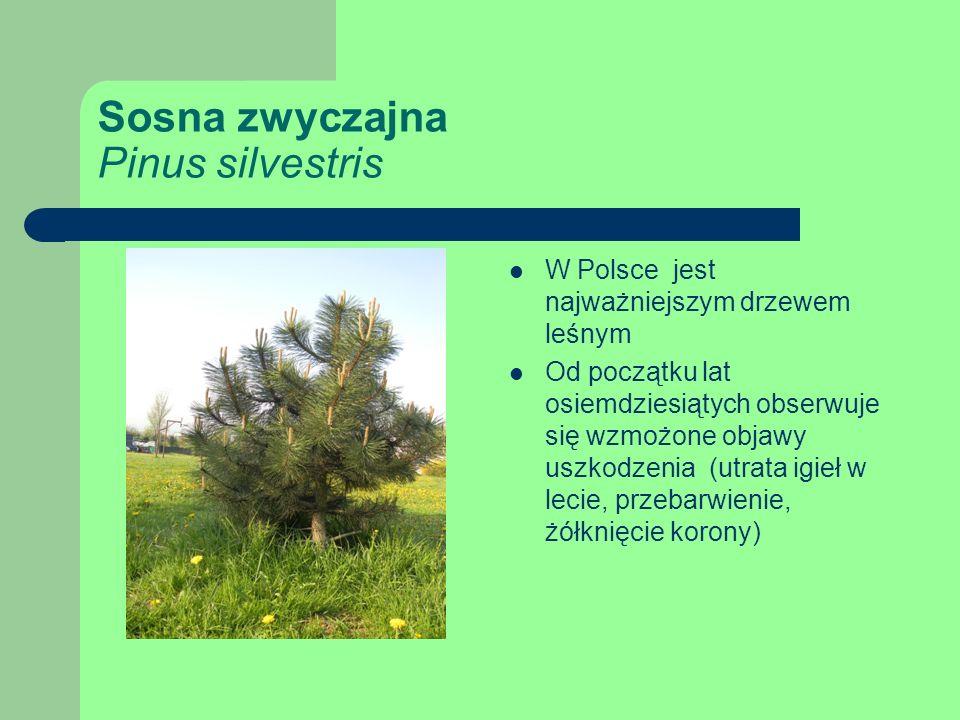 Sosna zwyczajna Pinus silvestris W Polsce jest najważniejszym drzewem leśnym Od początku lat osiemdziesiątych obserwuje się wzmożone objawy uszkodzenia (utrata igieł w lecie, przebarwienie, żółknięcie korony)