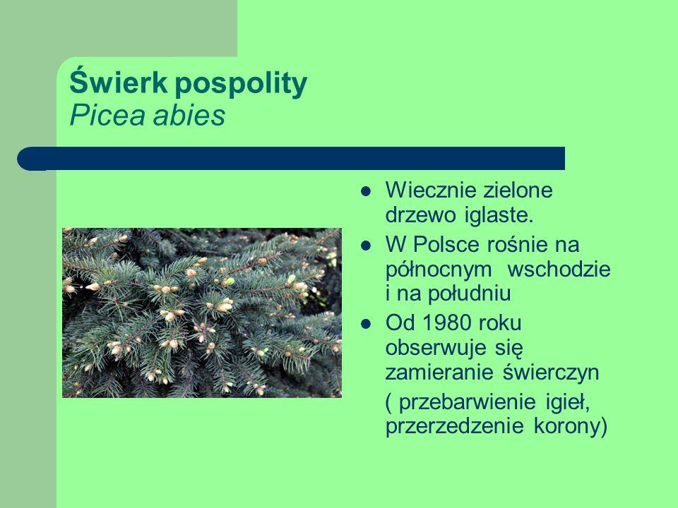 Świerk pospolity Picea abies Wiecznie zielone drzewo iglaste.