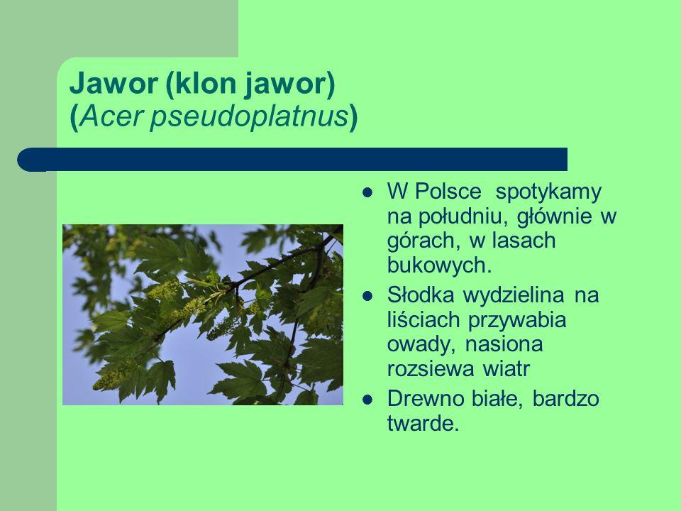 Jawor (klon jawor) (Acer pseudoplatnus) W Polsce spotykamy na południu, głównie w górach, w lasach bukowych.