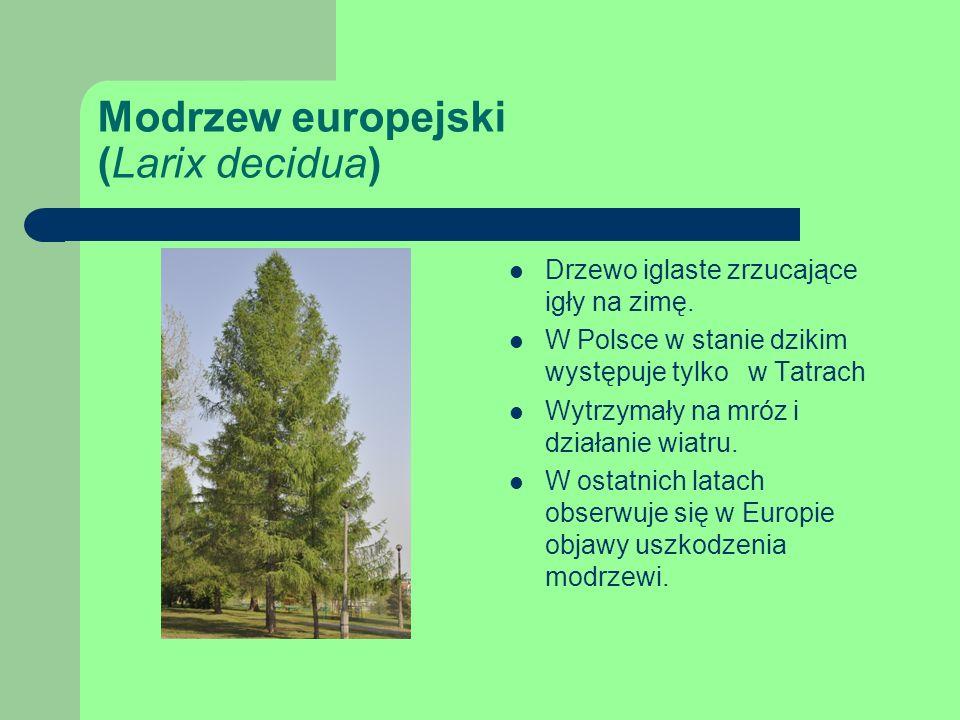 Modrzew europejski (Larix decidua) Drzewo iglaste zrzucające igły na zimę.