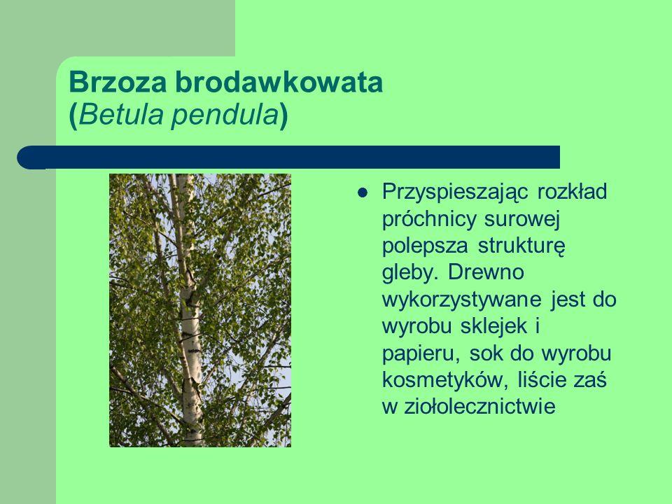 Brzoza brodawkowata (Betula pendula) Przyspieszając rozkład próchnicy surowej polepsza strukturę gleby.