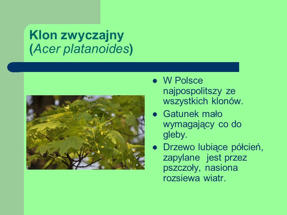 Klon zwyczajny (Acer platanoides) W Polsce najpospolitszy ze wszystkich klonów.