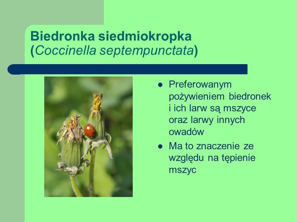 Biedronka siedmiokropka (Coccinella septempunctata) Preferowanym pożywieniem biedronek i ich larw są mszyce oraz larwy innych owadów Ma to znaczenie ze względu na tępienie mszyc