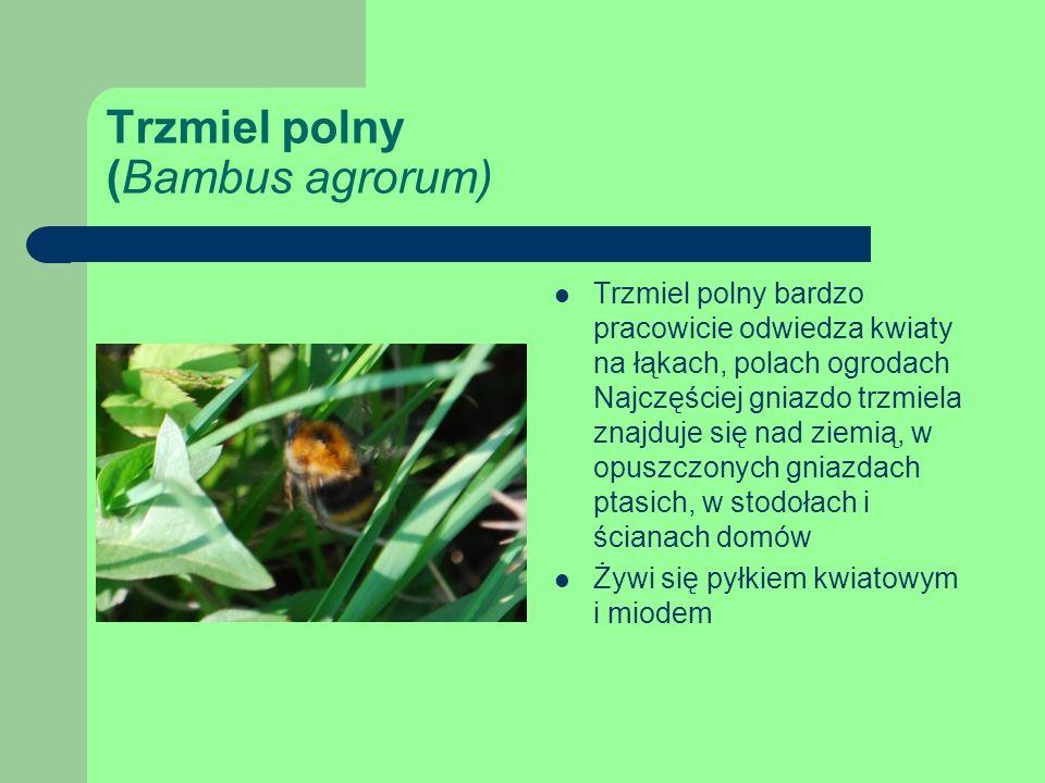 Trzmiel polny (Bambus agrorum) Trzmiel polny bardzo pracowicie odwiedza kwiaty na łąkach, polach ogrodach Najczęściej gniazdo trzmiela znajduje się nad ziemią, w opuszczonych gniazdach ptasich, w stodołach i ścianach domów Żywi się pyłkiem kwiatowym i miodem