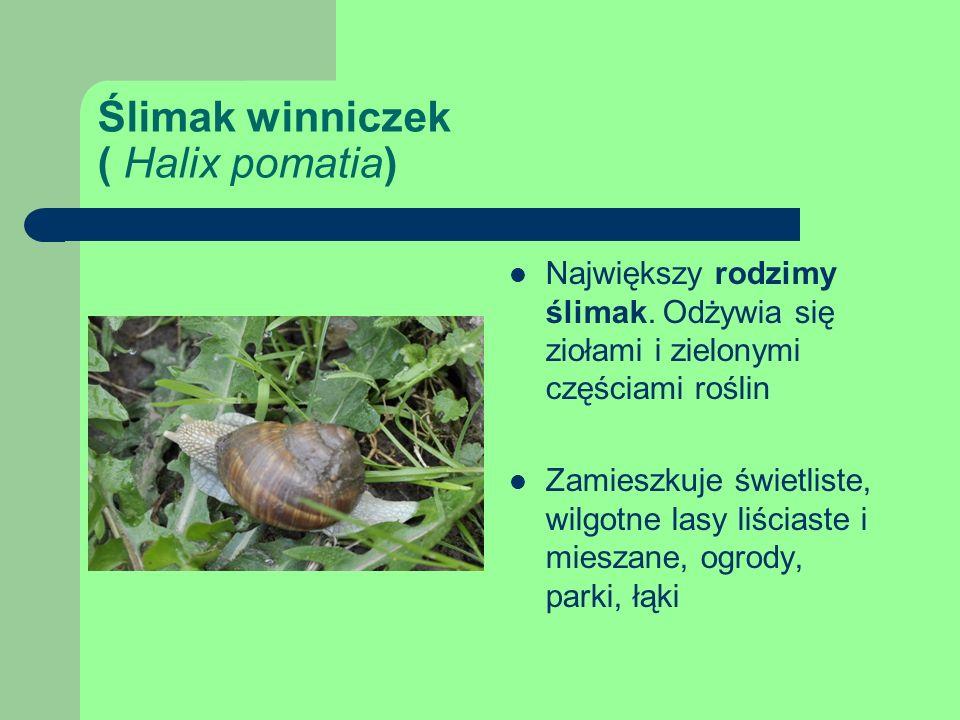 Ślimak winniczek ( Halix pomatia) Największy rodzimy ślimak.