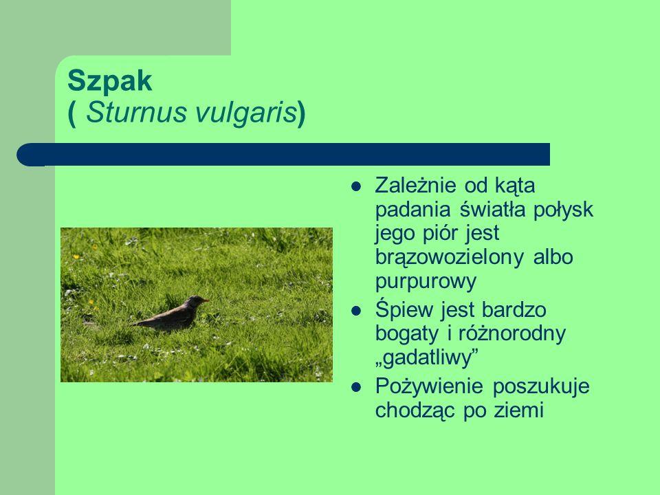 Szpak ( Sturnus vulgaris) Zależnie od kąta padania światła połysk jego piór jest brązowozielony albo purpurowy Śpiew jest bardzo bogaty i różnorodny gadatliwy Pożywienie poszukuje chodząc po ziemi