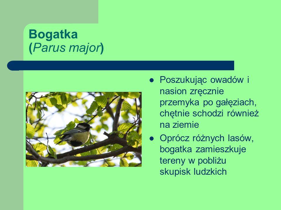 Bogatka (Parus major) Poszukując owadów i nasion zręcznie przemyka po gałęziach, chętnie schodzi również na ziemie Oprócz różnych lasów, bogatka zamieszkuje tereny w pobliżu skupisk ludzkich