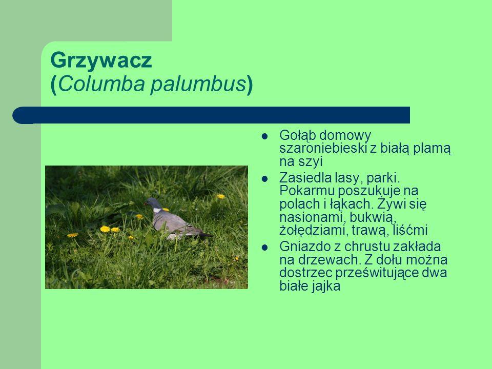Grzywacz (Columba palumbus) Gołąb domowy szaroniebieski z białą plamą na szyi Zasiedla lasy, parki.