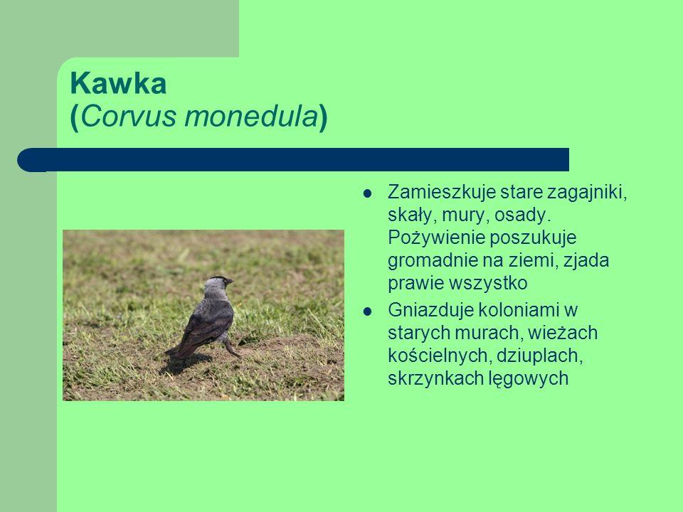 Kawka (Corvus monedula) Zamieszkuje stare zagajniki, skały, mury, osady.
