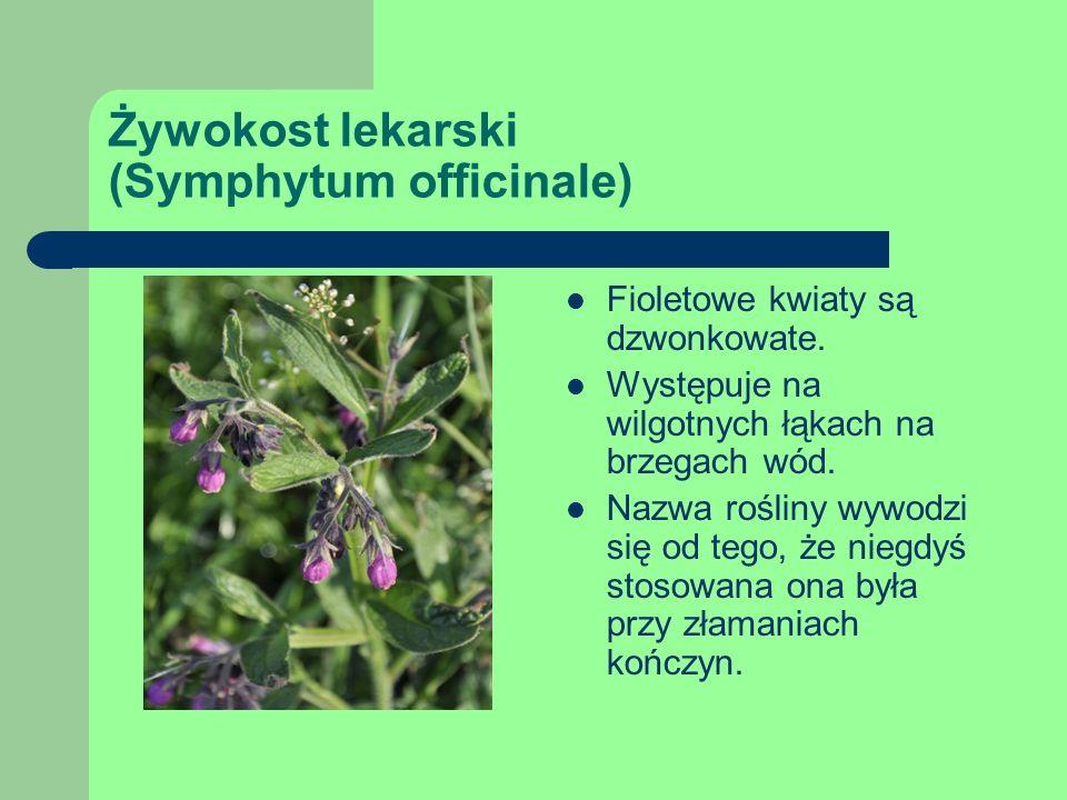 Żywokost lekarski (Symphytum officinale) Fioletowe kwiaty są dzwonkowate.