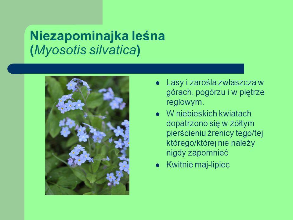 Niezapominajka leśna (Myosotis silvatica) Lasy i zarośla zwłaszcza w górach, pogórzu i w piętrze reglowym.