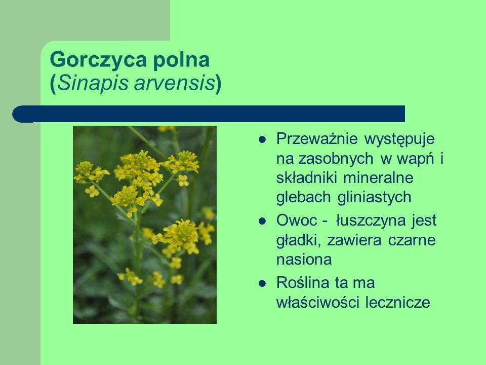 Gorczyca polna (Sinapis arvensis) Przeważnie występuje na zasobnych w wapń i składniki mineralne glebach gliniastych Owoc - łuszczyna jest gładki, zawiera czarne nasiona Roślina ta ma właściwości lecznicze