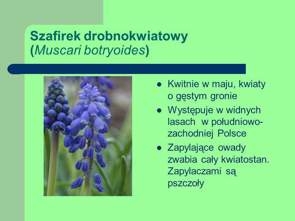 Szafirek drobnokwiatowy (Muscari botryoides) Kwitnie w maju, kwiaty o gęstym gronie Występuje w widnych lasach w południowo- zachodniej Polsce Zapylające owady zwabia cały kwiatostan.
