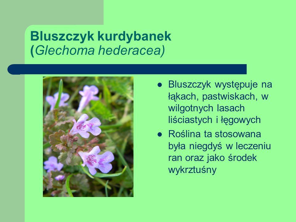 Bluszczyk kurdybanek (Glechoma hederacea) Bluszczyk występuje na łąkach, pastwiskach, w wilgotnych lasach liściastych i łęgowych Roślina ta stosowana była niegdyś w leczeniu ran oraz jako środek wykrztuśny